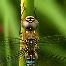 Common Hawker Dragonfly by Kawka