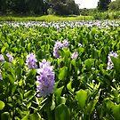 Lavender Fields by stumbelina
