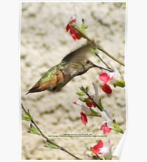 Hummingbird; Aguilar Garden, La Mirada, CA USA Poster