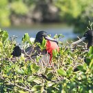 Frigate Bird mating display - Barbuda by Mark Baldwyn