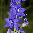 Thelymitra ixioides (Spotted Sun-orchid)  by Russell Mawson