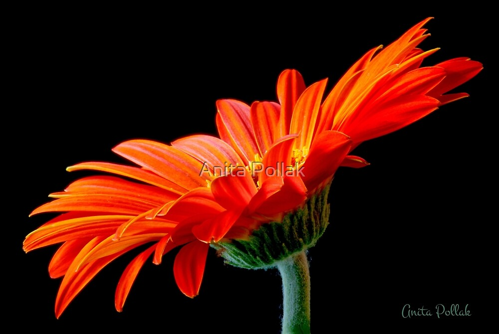 Orange Gerbera Daisy by Anita Pollak