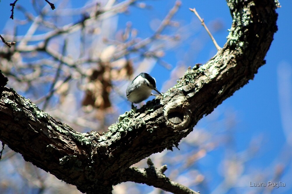 White-Breasted Nuthatch by Laura Puglia