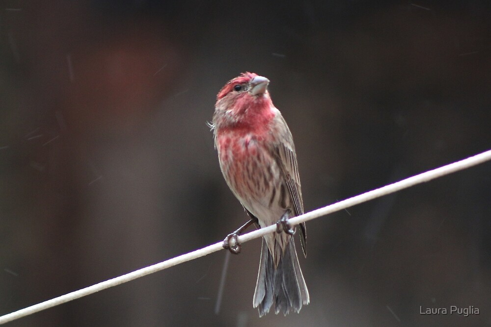 House Finch by Laura Puglia
