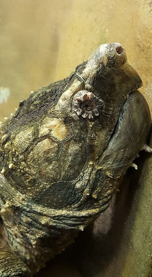 Alligator Snapping Turtle by Minyadagniriel