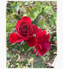 Field rose  Poster