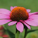Pink Coneflower by ANNABEL   S. ALENTON