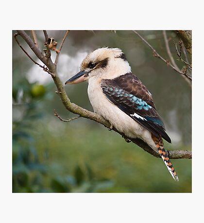 Kookaburra#1 Photographic Print