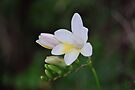 The first of the wild Freesia by Ian Berry