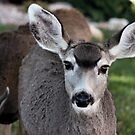 Mule Deer Doe by Lori Peters