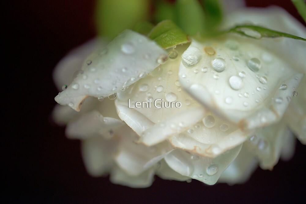 Garden Rose Droplets by Leni Ciuro
