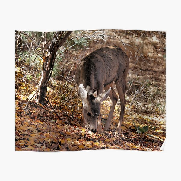 Mule Deer Doe 2 Poster