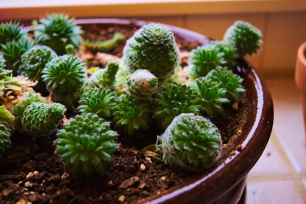Little Succulents by Jim Mulkern