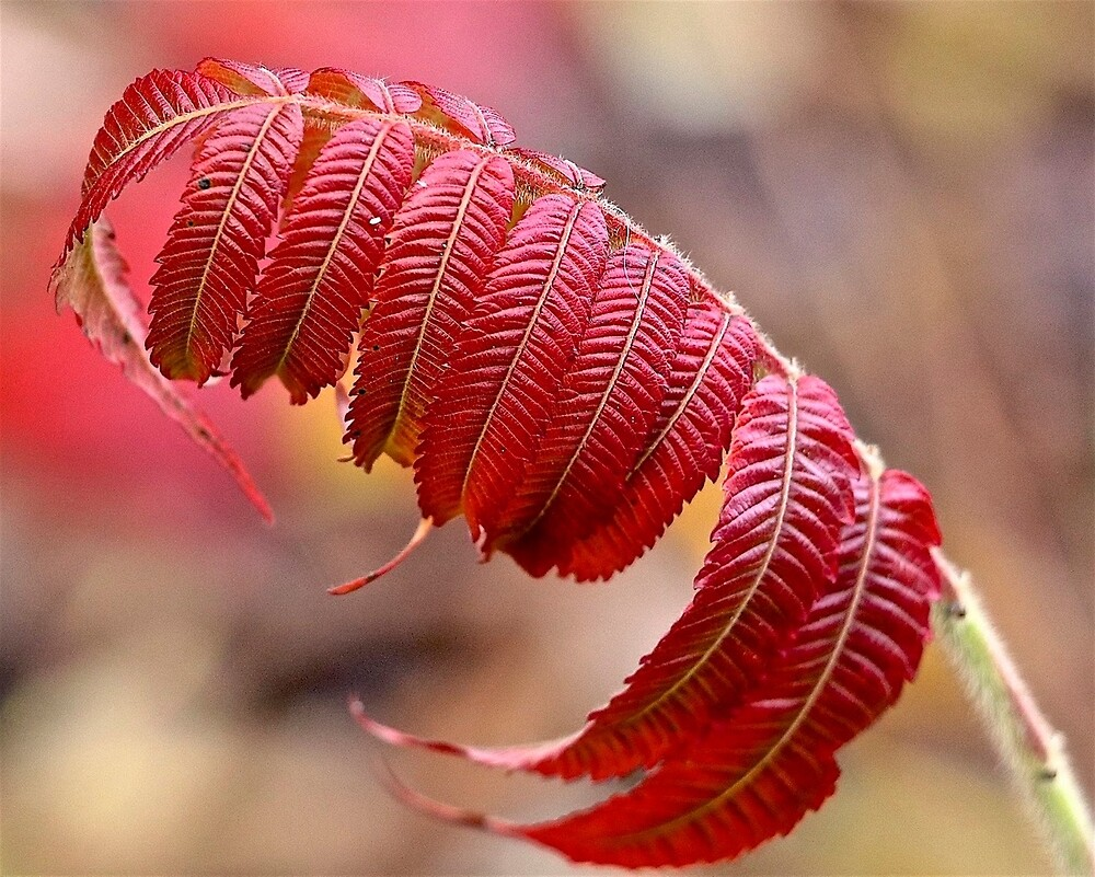 Autumn Red by John Thurgood