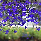Blue Lobelia Flowers by DAntas