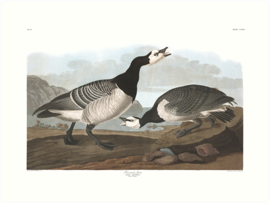 Barnacle Goose - John James Audubon by billythekidtees