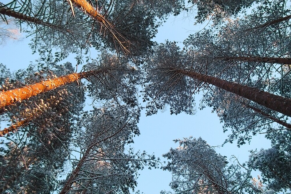 The tops of the pine trees in the winter. by GermanS