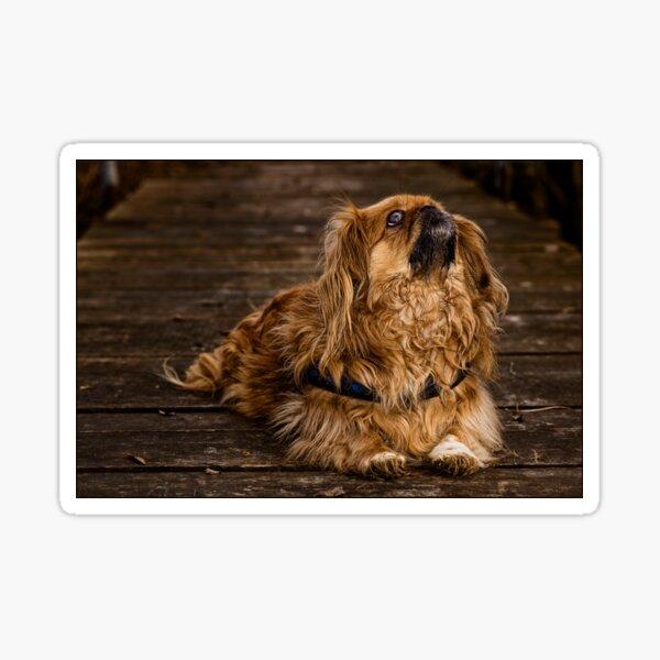 Hund, Pekinese Sticker