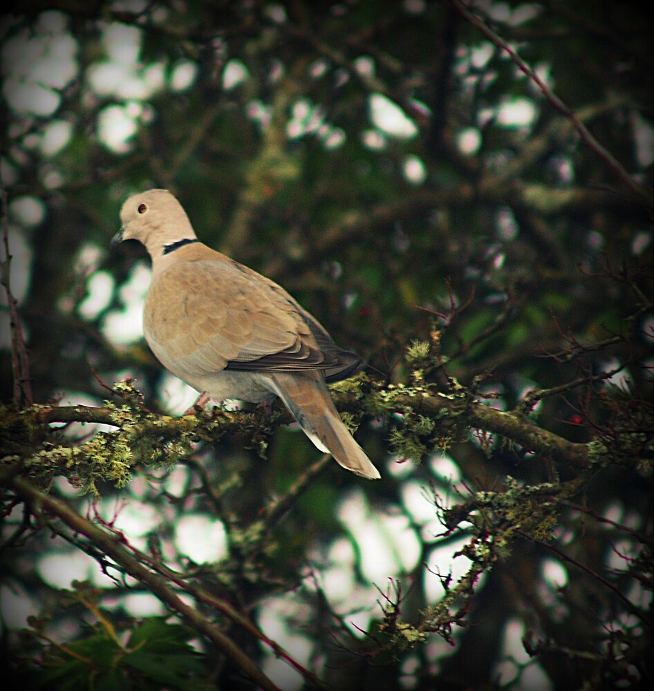 Dove by franceslewis