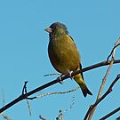 Greenfinch on Standby by kibishipaul