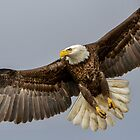 In Flight Eagle Approaching by TJ Baccari Photography