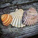 Sea Shells on Wood by Dave Hare