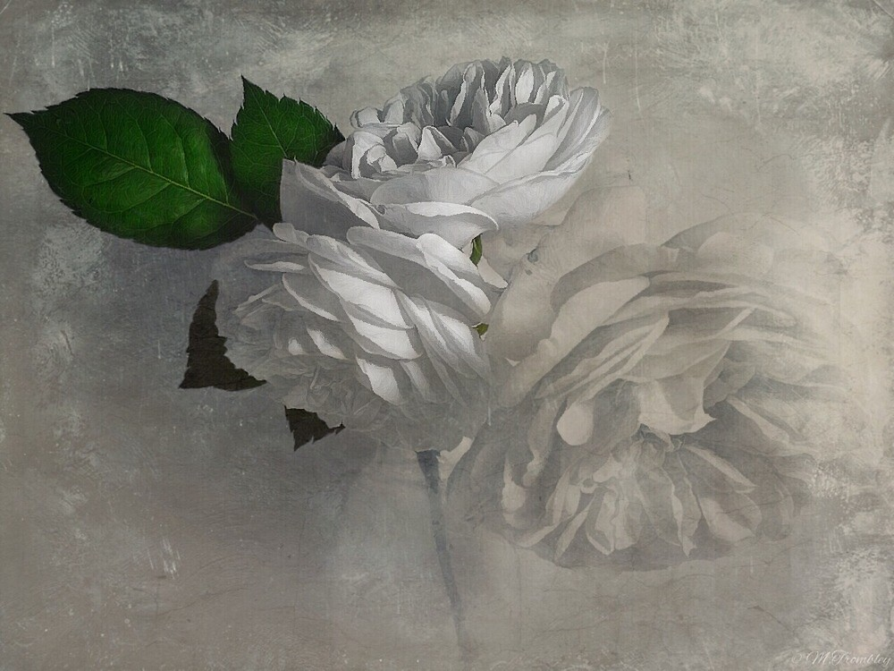 Rose by Michael  Trombley