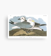 Black-legged Kittiwake - John James Audubon Canvas Print
