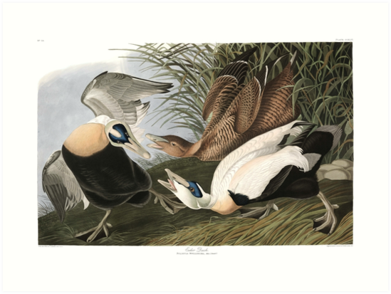 Common Eider - John James Audubon by billythekidtees