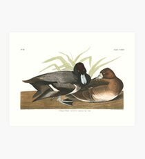 Lesser Scaup - John James Audubon Art Print