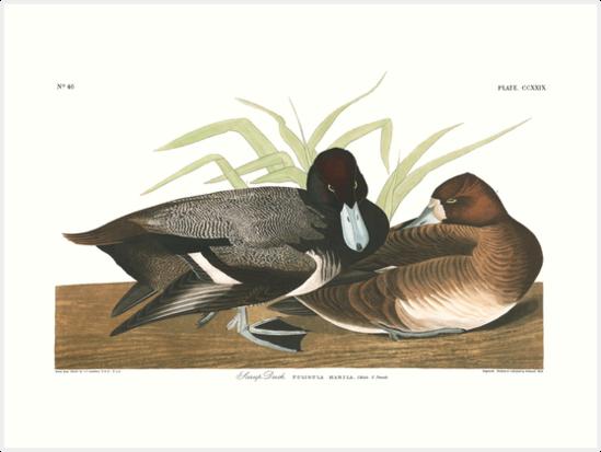 Lesser Scaup - John James Audubon by billythekidtees
