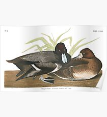 Lesser Scaup - John James Audubon Poster