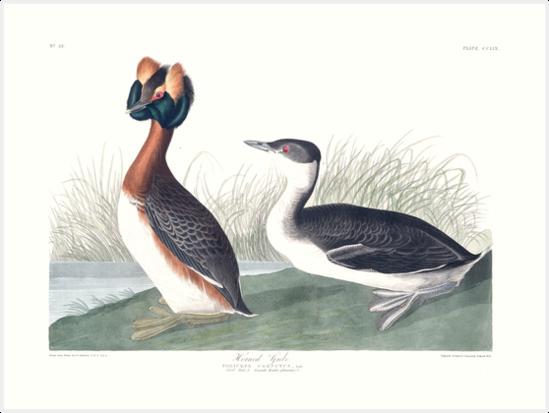 Horned Grebe - John James Audubon by billythekidtees