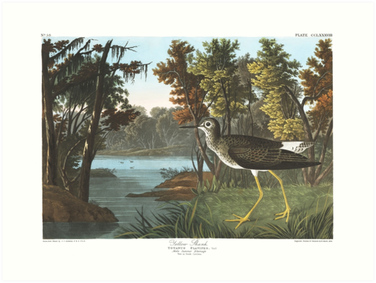 Lesser Yellowlegs - John James Audubon by billythekidtees