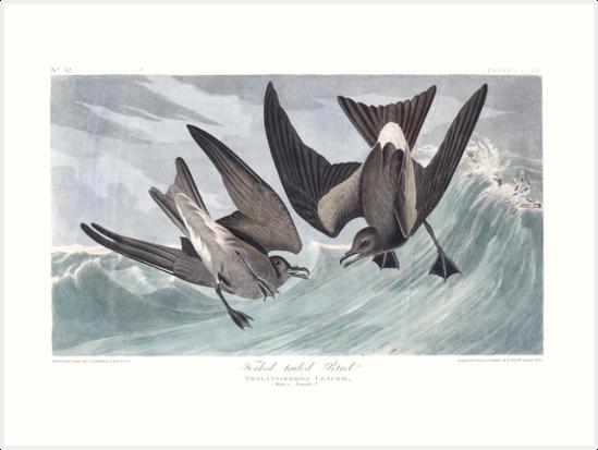 Leach's Storm-Petrel - John James Audubon by billythekidtees