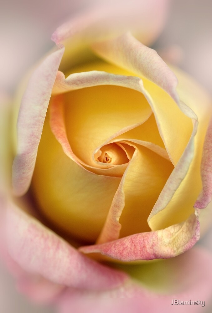 Pink and yellow rose. by JBlaminsky
