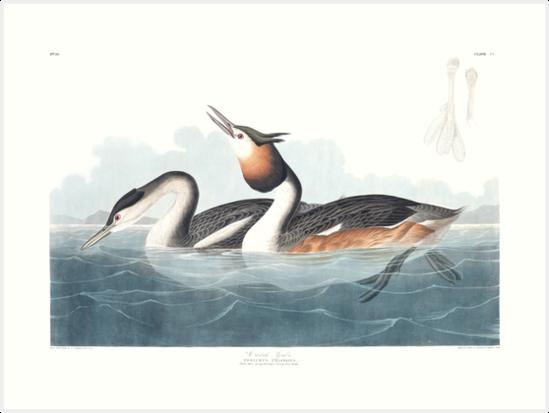 Great crested grebe - John James Audubon by billythekidtees