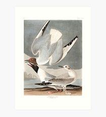 Bonaparte's Gull - John James Audubon Art Print