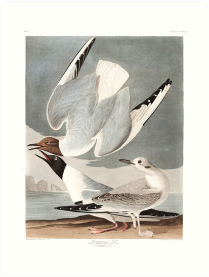 Bonaparte's Gull - John James Audubon by billythekidtees