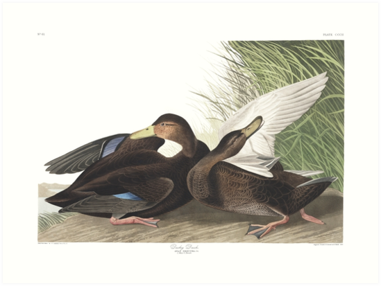 American Black Duck - John James Audubon by billythekidtees