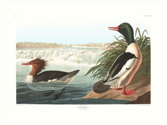 Common Merganser - John James Audubon by billythekidtees