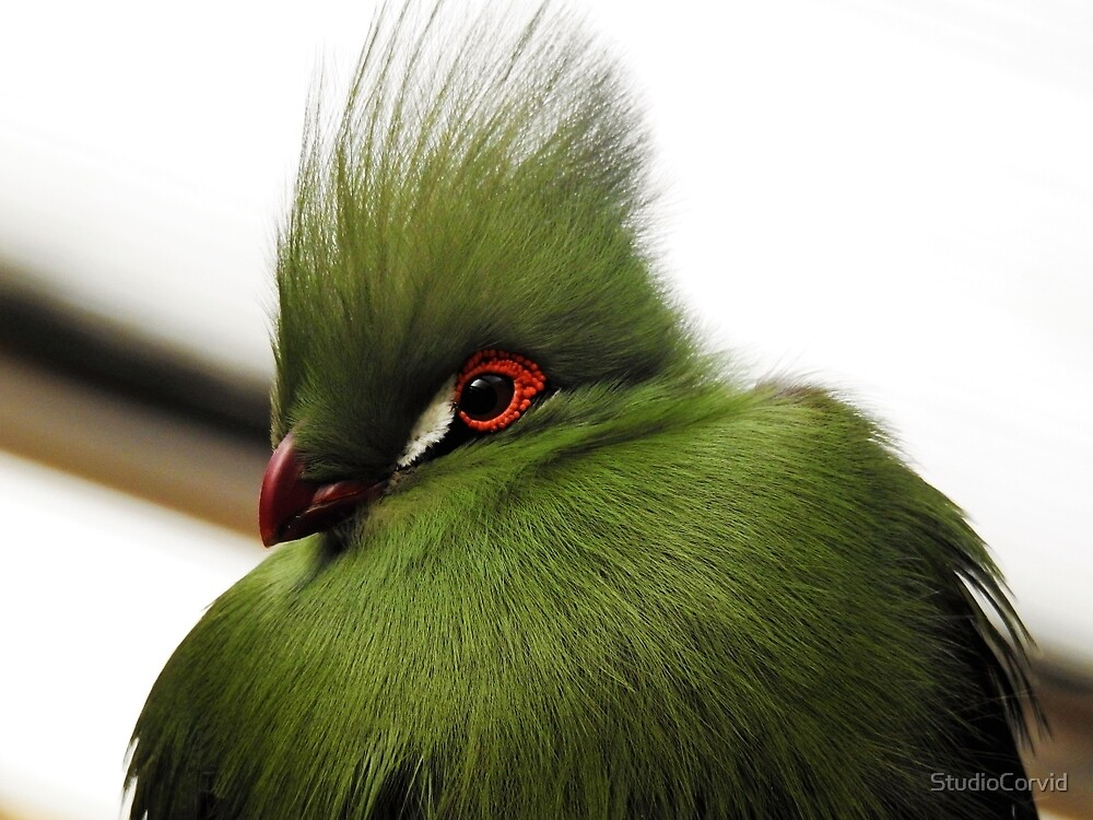Turoco bird by StudioCorvid