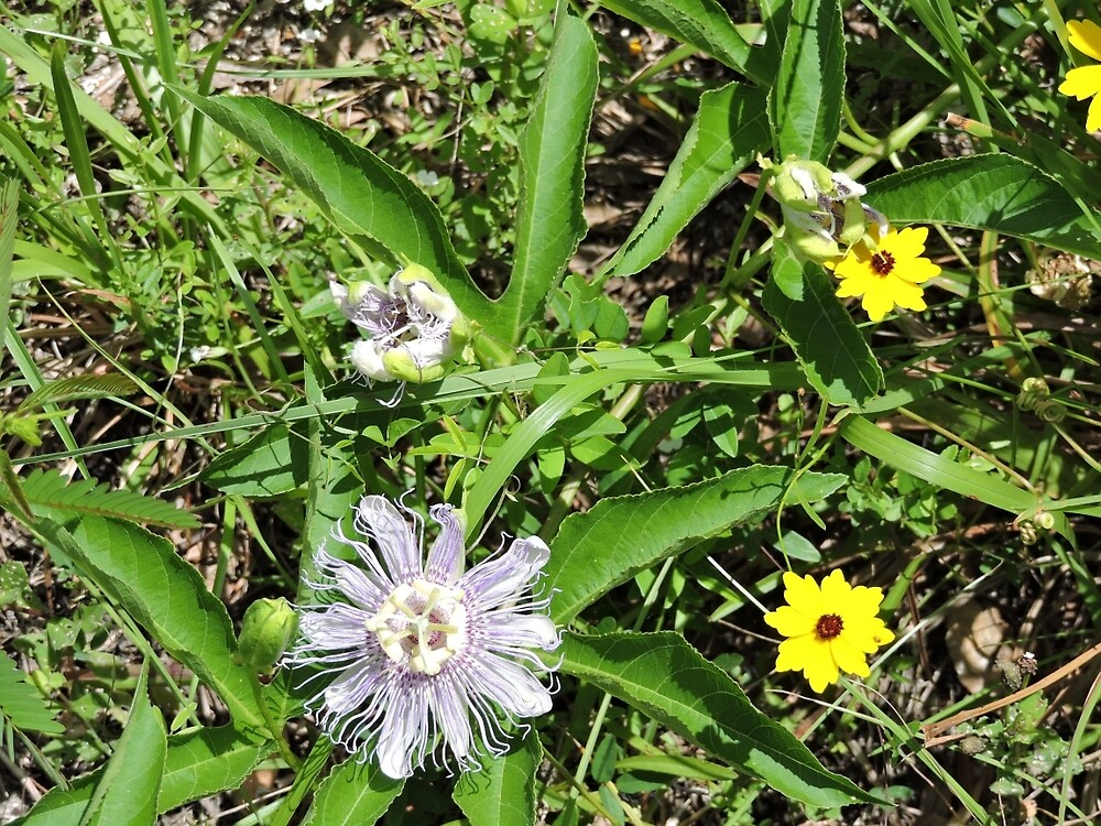 Florida Wild Flowers 2 by kayla30