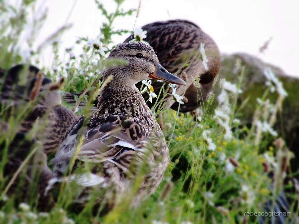Beautiful duck  by rebeccagitsham