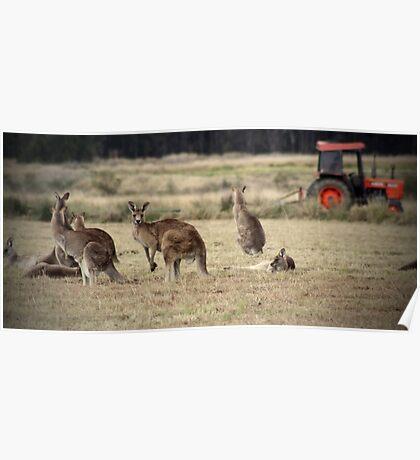 Kangaroo Farm Poster