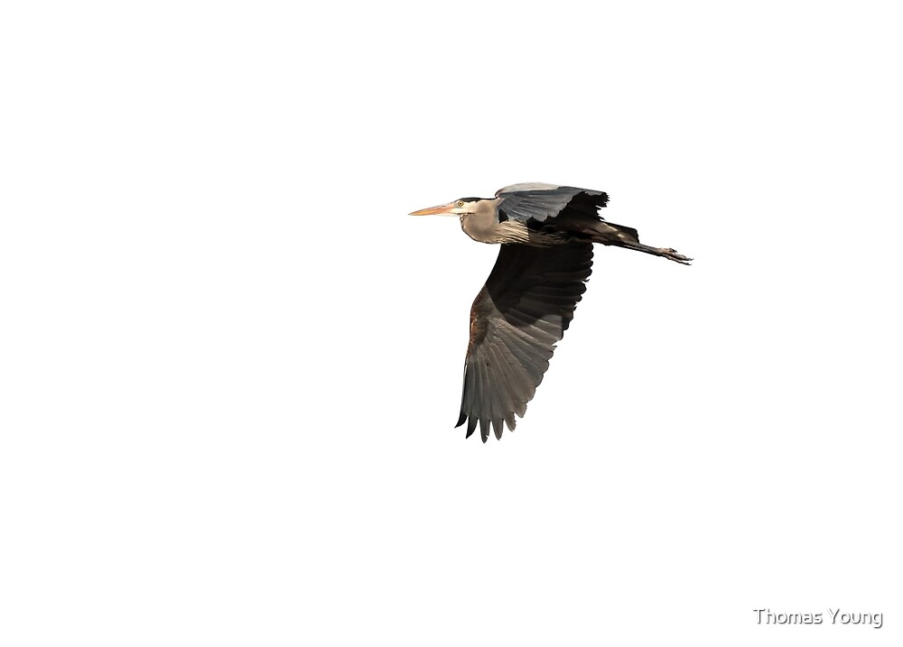 Isolated Great Blue Heron 2015-4 by Thomas Young