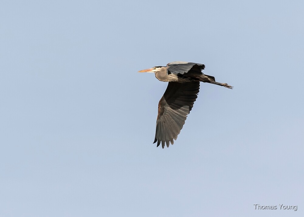 Great Blue Heron 2015-13 by Thomas Young