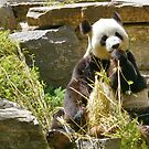 Giant Panda by Geoffrey Higges