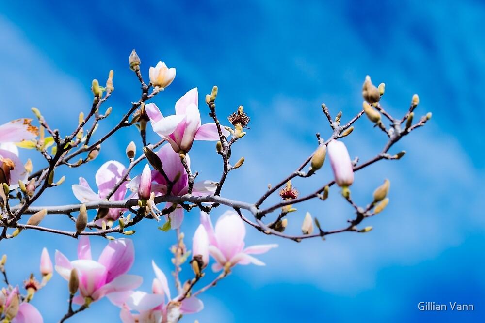 Magnolias against a blue sky by Gillian Vann