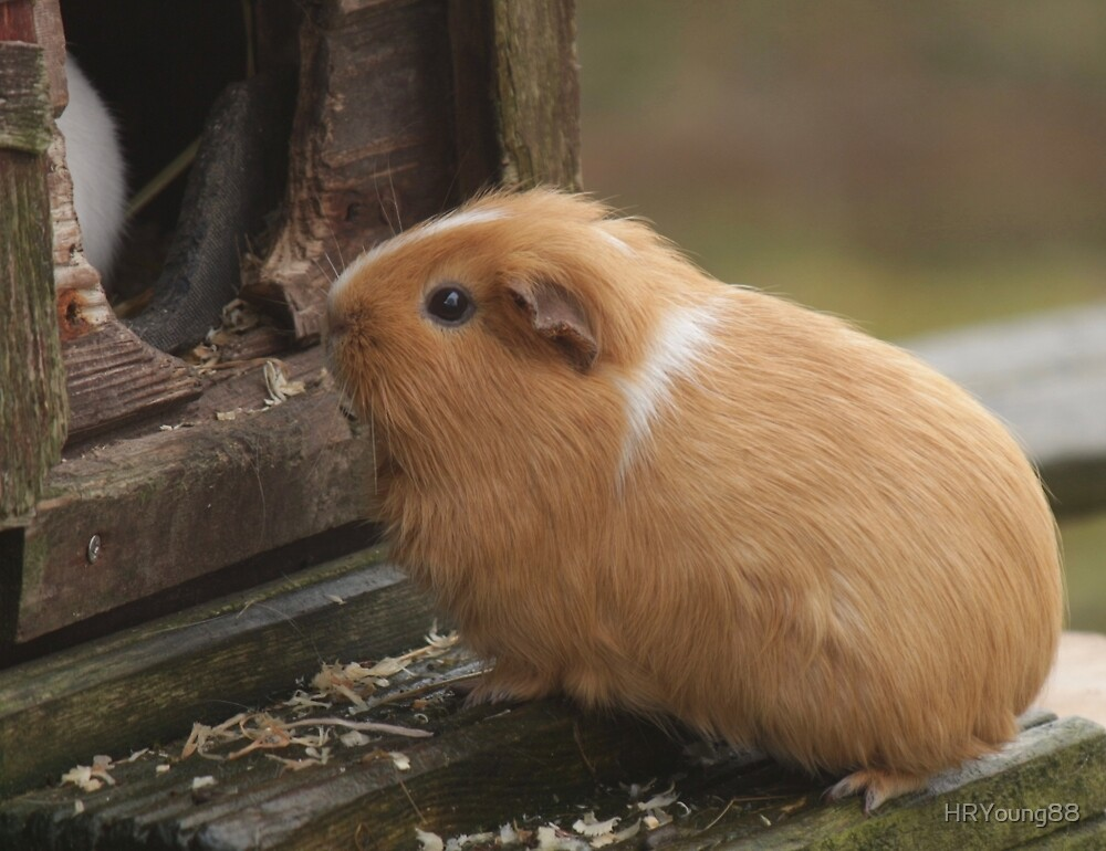Guinea Pig by HRYoung88